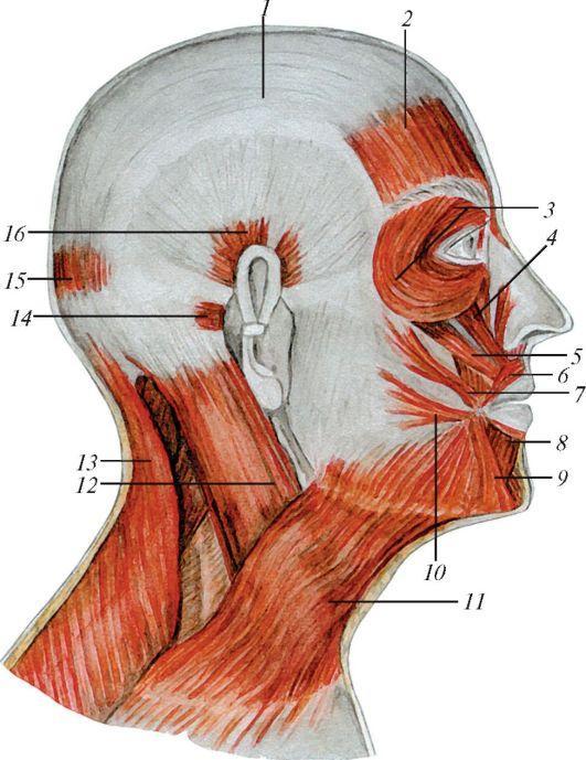 Миофасциальная структура лица