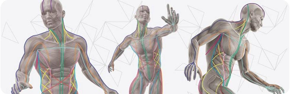 Мышечно-фасциальные цепи